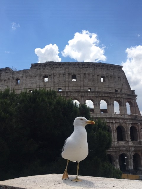 Colloseagull